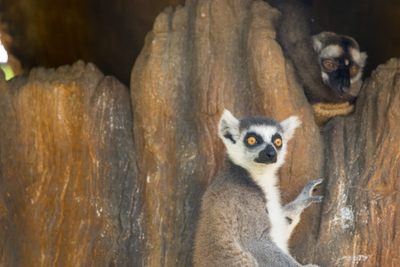 ring tailed: Lemur catta or ring tailed  monkey in zoo.