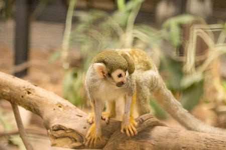 sciureus: Squirrel Monkey and baby in the forest. Stock Photo