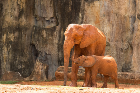 Africa elephant ,Mam and baby live in forest.