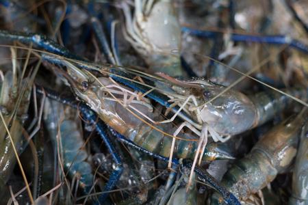 Giant river prawn raw material in fresh maket.