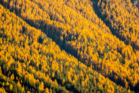 Pine forest tree in Bolzano ,Italy.