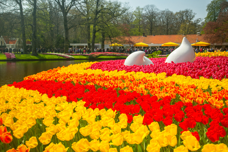 Tulips flower Keukenhof farm. Spring Season in Amsterdam Netherlands.