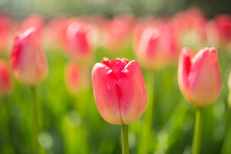 Tulips flower Keukenhof farm. Spring Season in Amsterdam Netherlands.