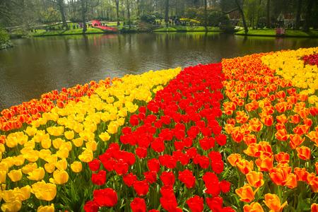 AMSTERDAM,NETHERLANDS-April 20 ,2017:Tulips flower Keukenhof farm. Spring Season in Amsterdam Netherlands. Stock Photo