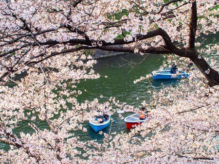 Cherry blossom ,Springtime of Sakura flower seasonal in Tokyo ,Japan Stock Photo