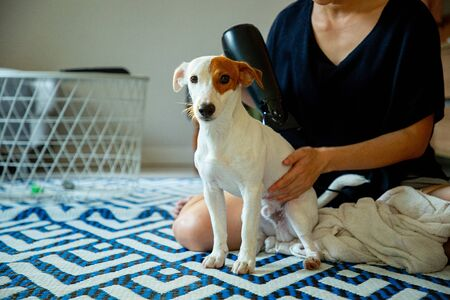 Jack russell dog blow hair at home. Standard-Bild