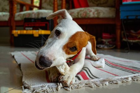 Feeding bone toy to Jack Russell Terr dog for healthy.