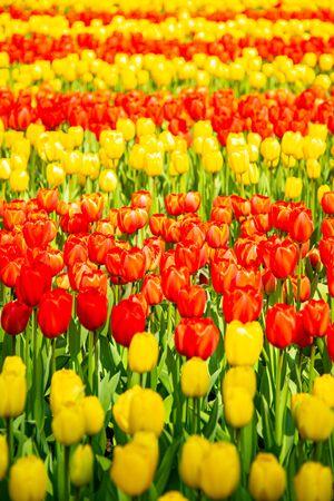 Tulip flower in spring season in Netherland.
