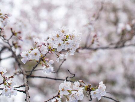 Cherry blossom ,Springtime of Sakura flower seasonal in Hokkaido ,Japan