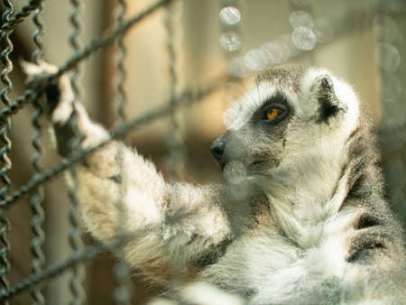 Long-tailed lemur holding on the cage and looking in the outside.
