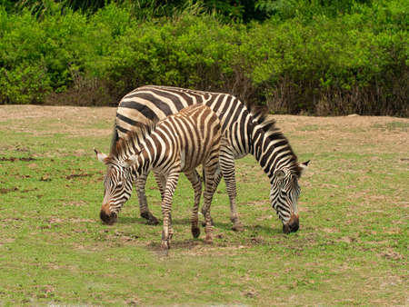 Two zebra animal in the natural wild.Africa mammal eat grass in the outside.