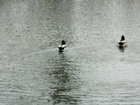 two ducks going in the same direction in cold water