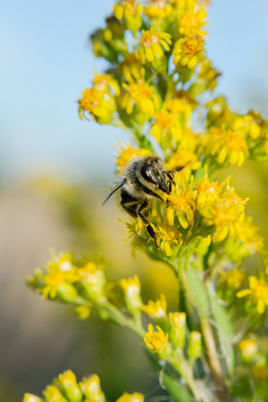 Busy bees and furry fluffy bumblebees climbing and pollinating on stalk of yellow blooming flowers  Shot was done in rural around Moscow  Shots contain nice blur and bokeh, that can be used for text place  This shoot was done with macro lens, that is why  photo