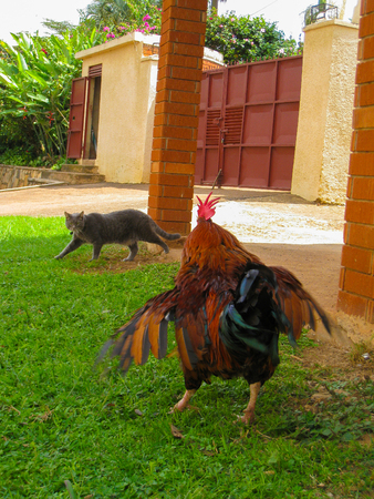 A rooster scaring off a cat in a garden Stock Photo
