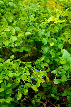 Blueberries in natural surroundings in eastern Finland