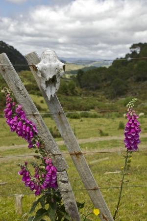Sheep skull alongside flowers in New Zealand. Coromandel