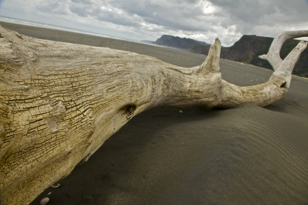 Driftwood on the Karekare beach in Auckland New Zealand