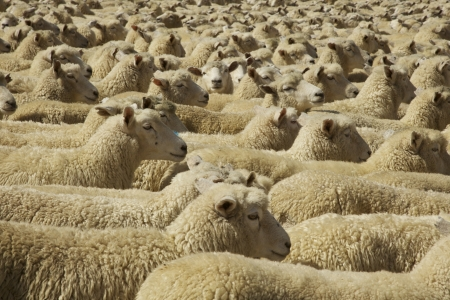 Penned up Flock of Sheep in New Zealand.