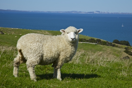 Lone sheep in Auckland New Zealand. City in the far background photo