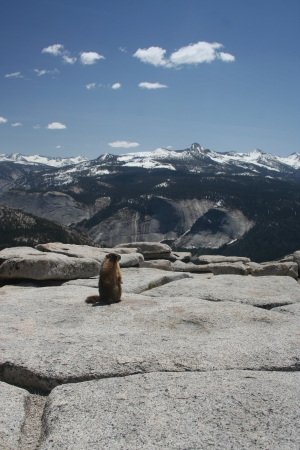 Marmot on the top of Half Dome  Yosemite National Park  Stock Photo