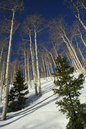 wasatch: White Birch Trees in the Wasatch Ranges close to Snowbird