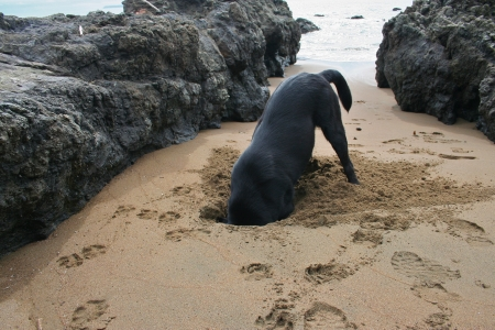 burying: Dog burying his head in the sand in Costa Rica
