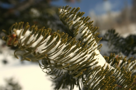 Detail of pine tree branch covered with snow Stock Photo