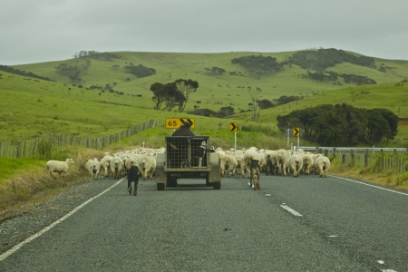 Herding Sheep along the road in New Zealand photo