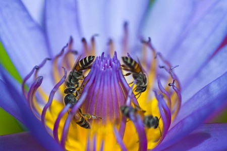 many beeses in violet lotus Stock Photo