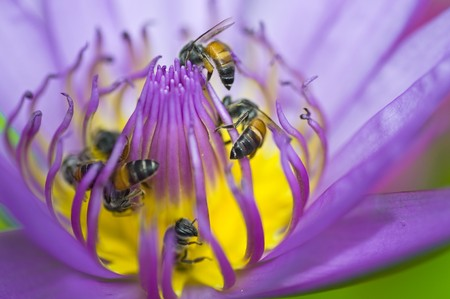 many beeses in violet lotus photo