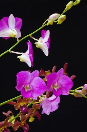 Thai purple orchid Stock Photo - 7493969