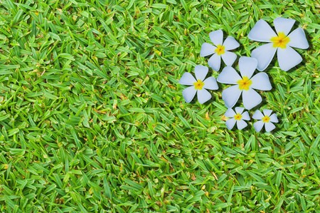 temple flower on green grass background photo