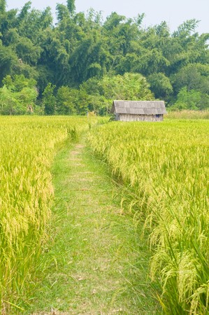 rice farm in Thailand Stock Photo - 8190759
