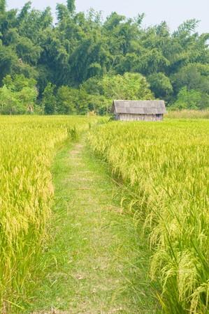 rice farm in Thailand Stock Photo - 8190759