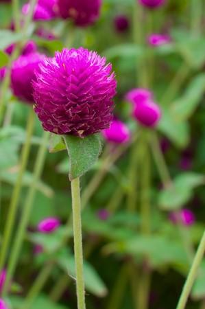 globosa: Globe amaranth or Gomphrena globosa Stock Photo