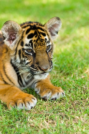 Portrait of a little tiger Stock Photo - 8663234