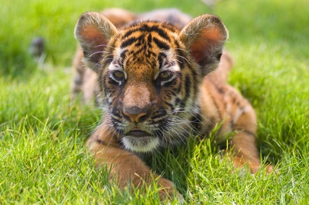 little tiger in action photo