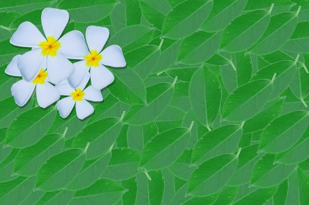 Frangipani or Plumeria or Templetree on green leave  background photo