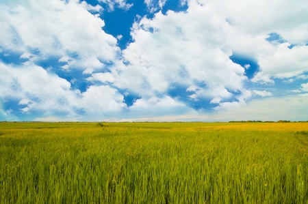 landscape of rice farm  under the blue sky  in Thailand photo