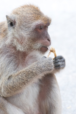 monkey is eating a bean in happy time Stock Photo - 11724842