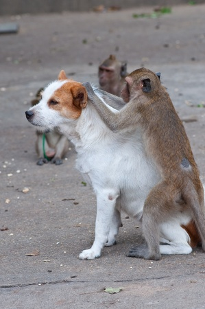 grooming: Monkeys checking for fleas and ticks in the dog