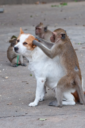 simian: Monkeys checking for fleas and ticks in the dog