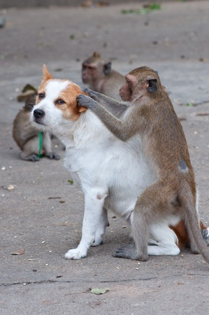 rare: Monkeys checking for fleas and ticks in the dog