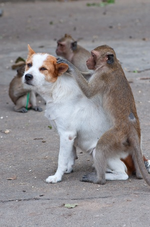 fleas: Monkeys checking for fleas and ticks in the dog