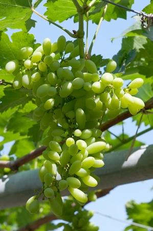 grapes in grapes farm photo