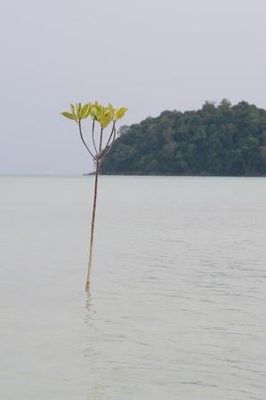Rhizophora mucronata stay in the sea at Surin island,southren on Thailand photo