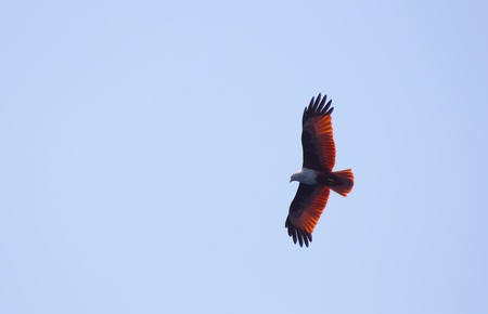 a red hawk on the blue sky Stock Photo