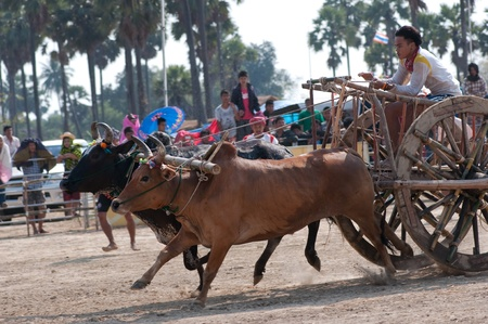 Petchaburi - February 5: cows with cow cart are racing in the field in Petchaburi cow cart racing festival on February 5, 2012 in Petchaburi Province, Thailand.