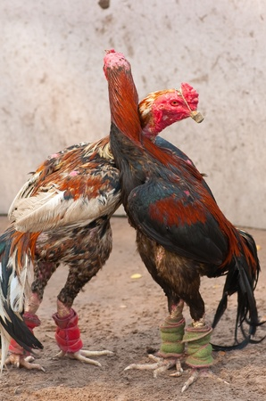 this  picture is a pair of Thai fighting cock  Stock Photo - 12836873