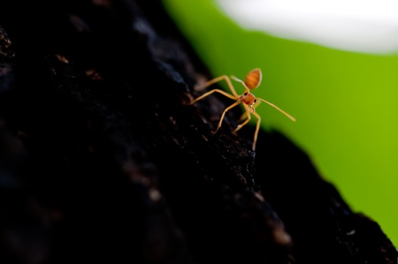 picture of red ant on a tree photo